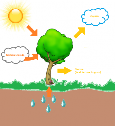 Photosynthesis And Trees How Does It Work Exactly