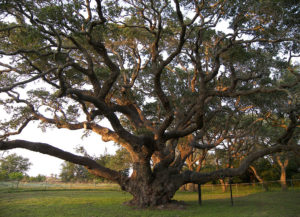 December Is The Best Time To Prune Oak Trees In Texas It S Not Too Hot And Cold Weather Perfect For Pruning So That Tree Blossom