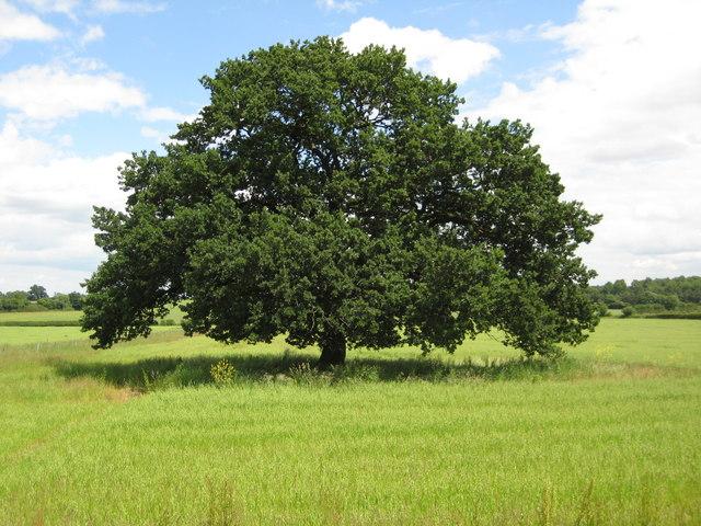 Characteristics Of The Oak Tree Austin Tree Service Inc